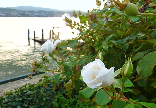 Rose_am_See